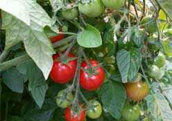 Squamish Tomatoes