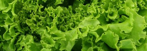 Squamish Lettuce leaf