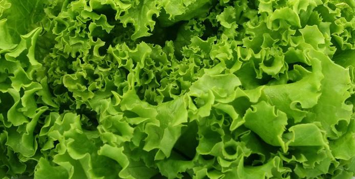 Squamish Lettuce leaf