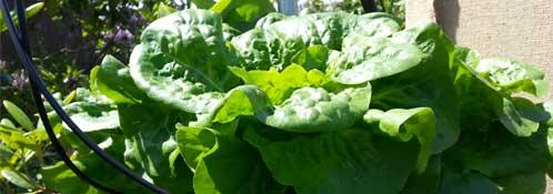 Squamish Hydroponic Lettuce