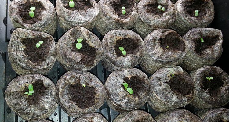Lettuce in Peat