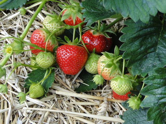 Squamish strawberry plants