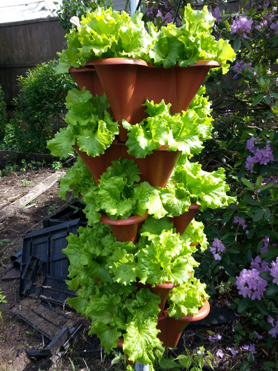 Vertical Row of leaf Lettuce grown close to Vancouver Canada