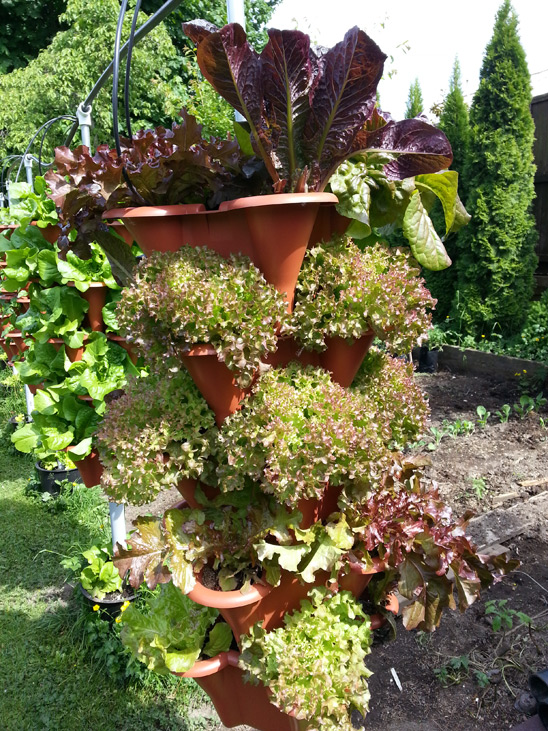 Vertical Row of mixed red Lettuce grown in west coast of BC, Canada