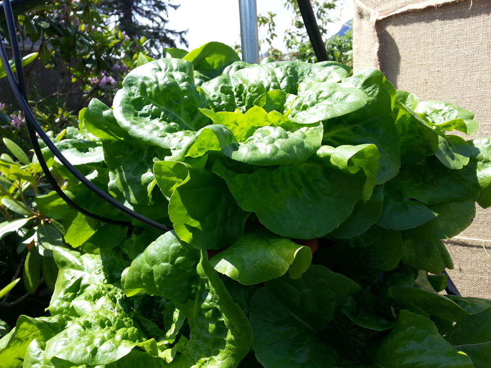 Lettuce grown in Pacific Northwest