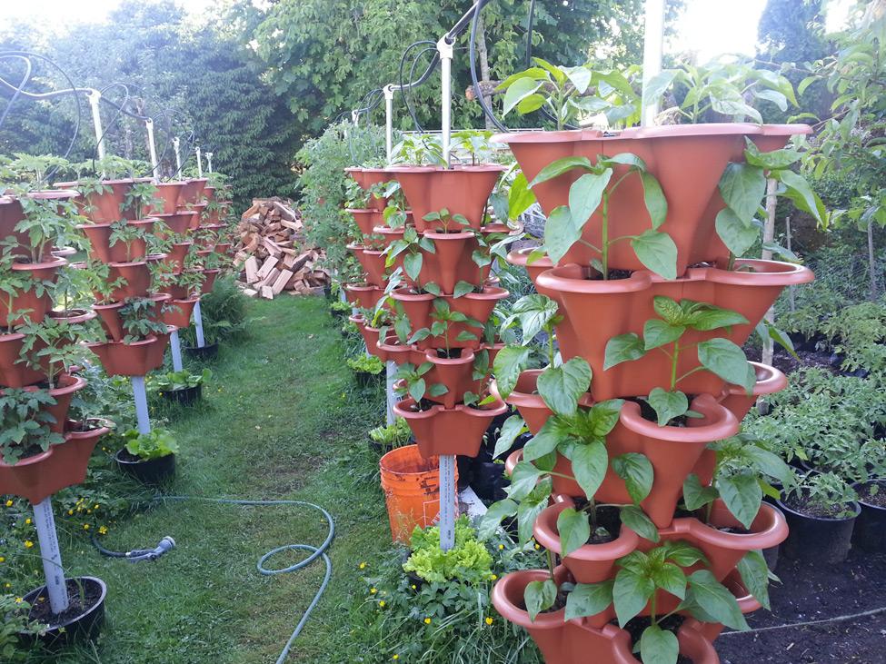 Peppers grown in vertical garden in Squamish