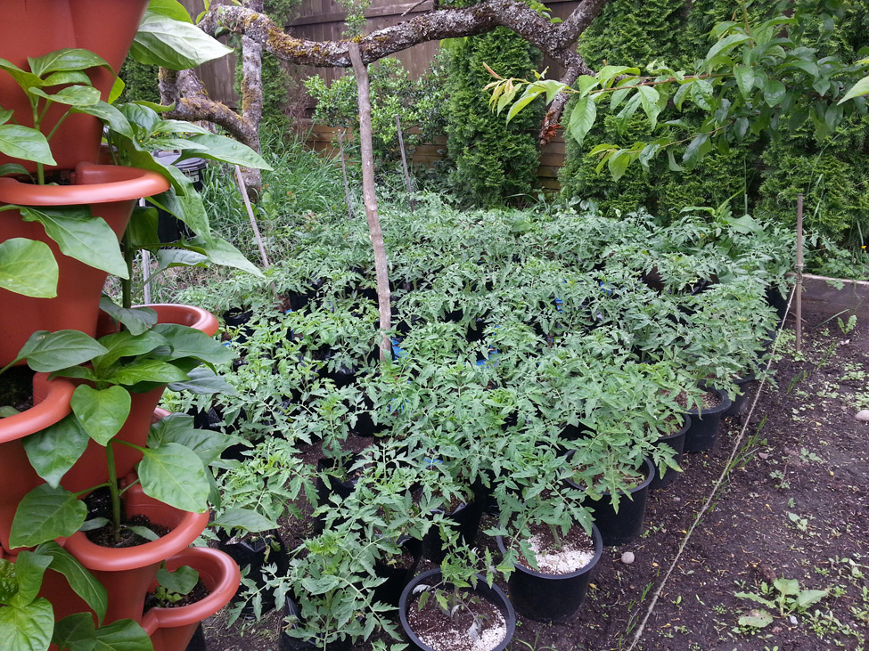 Flat rows of Beefsteak tomatoes and a other varieties grown in 1 gallon grow bags and 3 gallon containers in Squamish