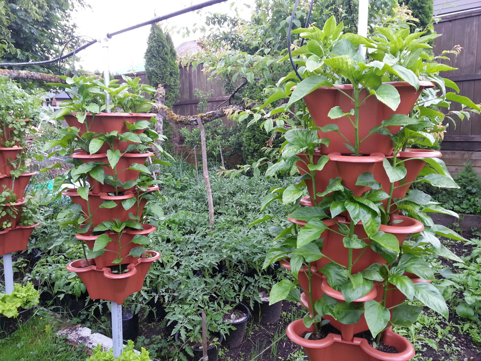 Peppers grown in vertical garden in Pacific Northwest