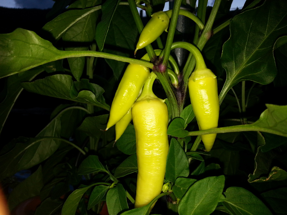 Jalapeno Peppers grown in Pacific Northwest