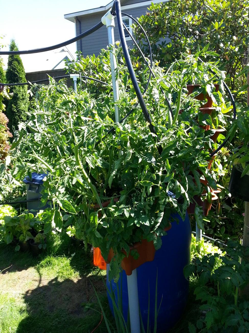 Beefsteak Tomatoes grown in Pacific Northwest