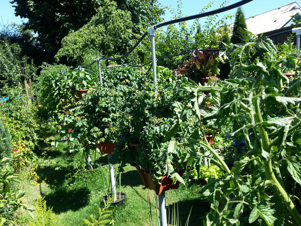Multiple varieties of Tomatoes grown in Pacific Northwest
