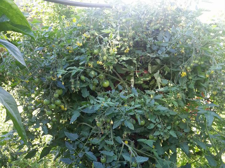 Tomato Plant in Column