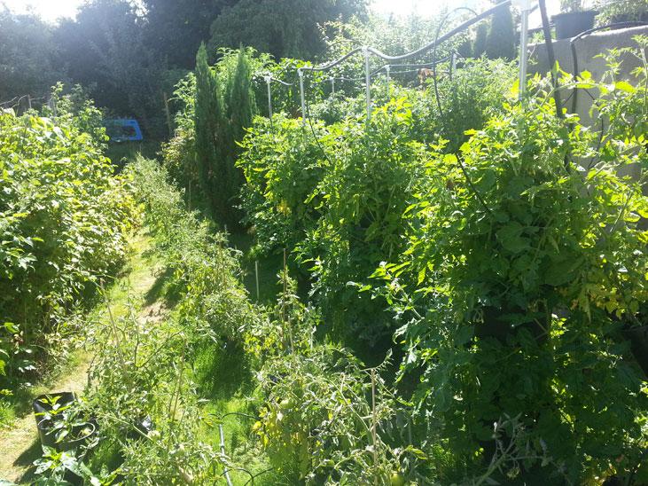 Determinate Roma Tomatoes