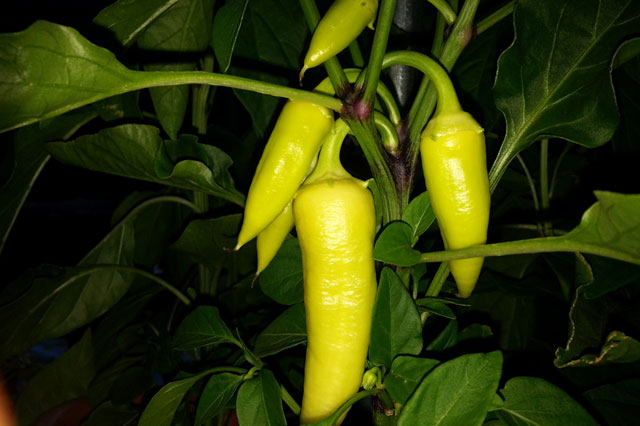 Tasty Semi Hot Peppers
