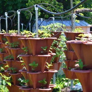 Jalapeno plants