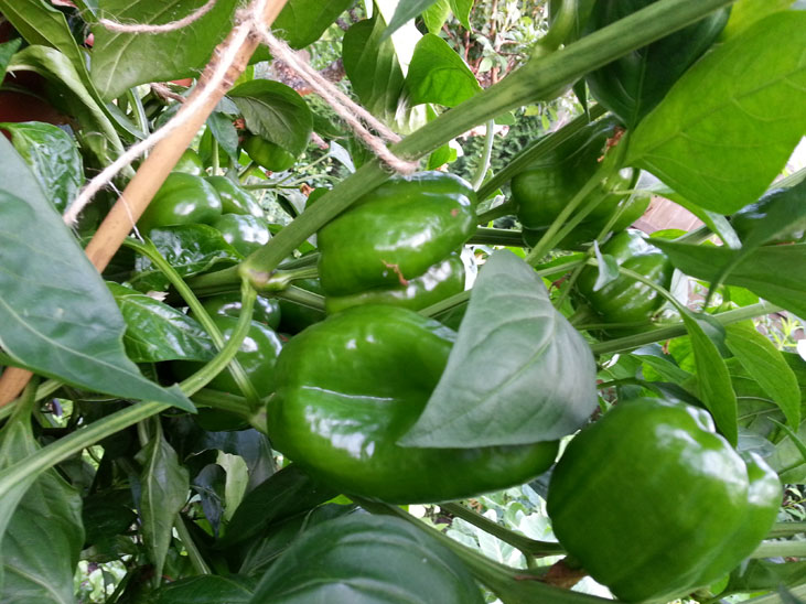 Growing Bell Peppers in Squamish and Vancouver