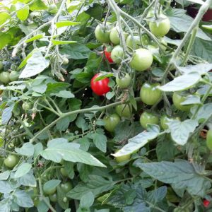 Growing Vine Tomatoes in Squamish and Vancouver