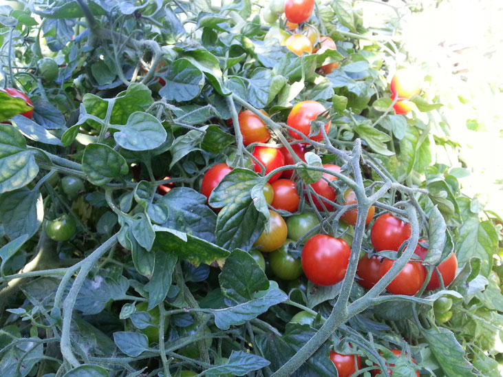 Cherry Tomatoes grown near Vancouver