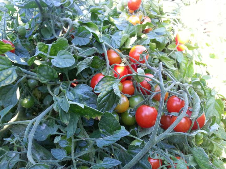 Squamish vine tomatoes
