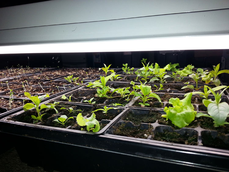 Growing lettuce in january in Squamish