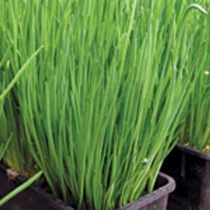 Nelly chive seedlings for sale in Squamish, North Vancouver and West Vancouver