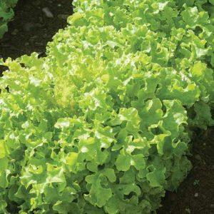 Green salad bowl leaf lettuce seedlings in Squamish, North Vancouver, West Vancouver, Whistler and Pemberton