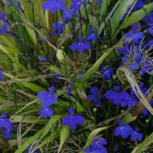 Trailing Lobelia seedlings for sale in Squamish, North Vancouver and West Vancouver