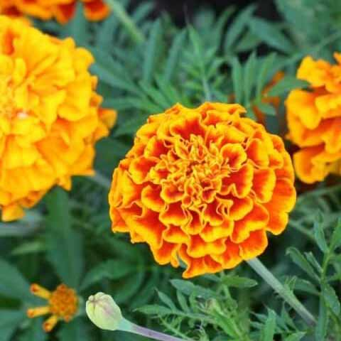 Marigold seedlings in Squamish, North Vancouver, West Vancouver, Whistler and Pemberton