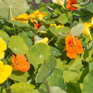 Nasturtium seedlings in Squamish, North Vancouver, West Vancouver, Whistler and Pemberton
