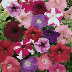 Petunia seedlings for sale in Squamish, North Vancouver and West Vancouver
