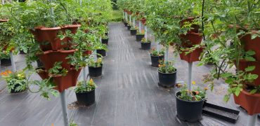 Rows of Sweet Million Tomatoes