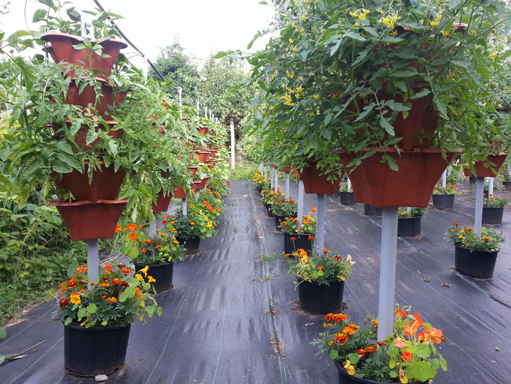 Peppers, Tomatoes and Cukes In Urban Microfarm Near Vancouver