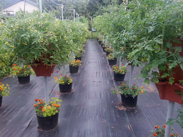 Tomatoes Grown 2018 in Pacific Northwest
