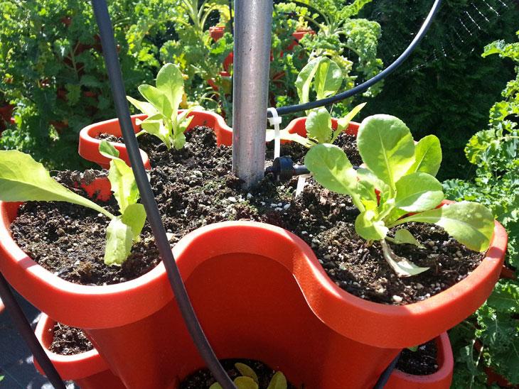 Close up of new Buttercrunch lettuce transplants