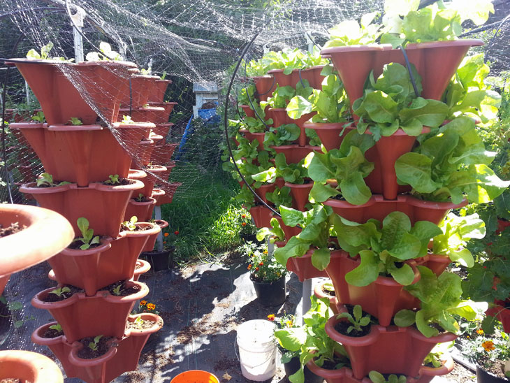 New Lettuce Transplants and Growth Stages