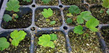 8 week old strawberry seedlings in tray