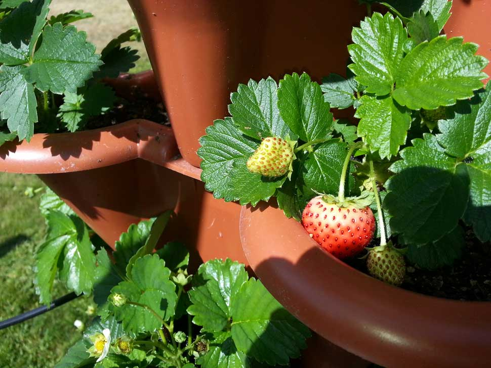 5 month old strawberry plants with ripening fruit