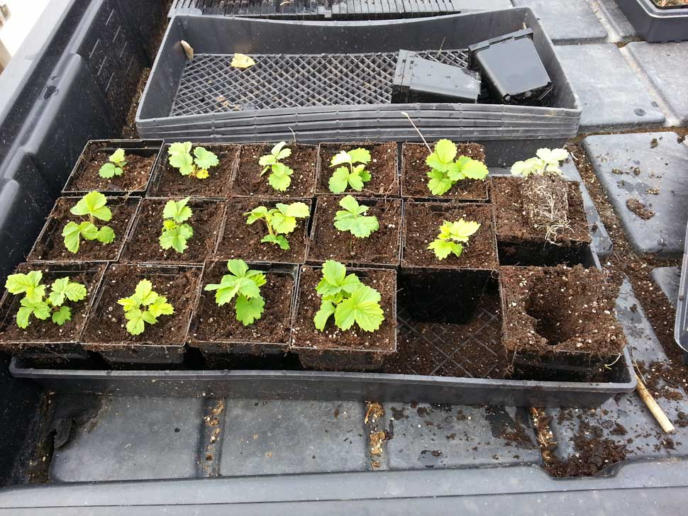 Transplanted strawberry seedlings at 3 months old