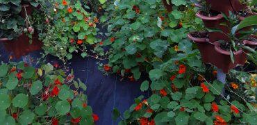 Growing Large Nasturtiums