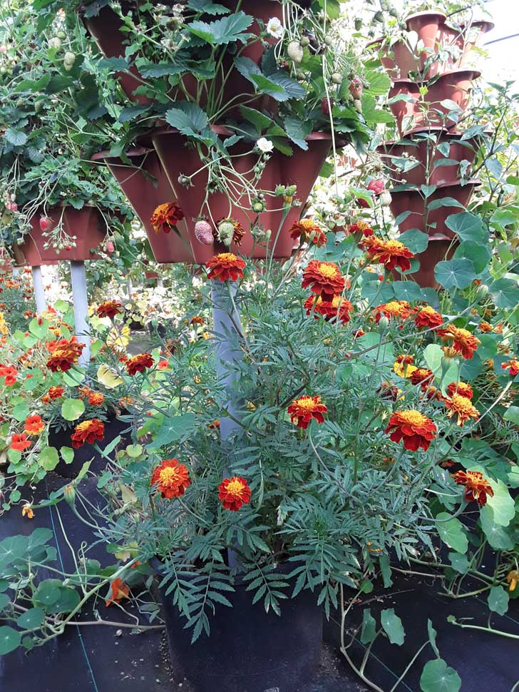 How to grow large Marigolds
